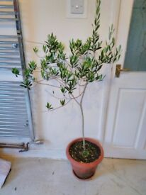 Mature Olive tree approx 5 feet height in pot stay inside (patio) / outside