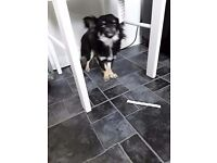 17 months old female chihuahua black/Tan/white colour
