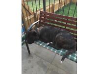 American Akita x Neapolitan mastif for sale