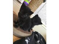 Kittens only 1 left