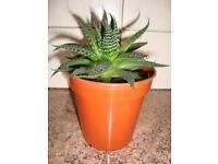 Aristata Aloe Vera Plant
