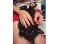 😍 black kitten boy&girl littertrained,eating,handle from birth 💓💓