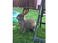 Giant continental female rabbit