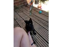 Black/Brown 1/2 Persian Kitten