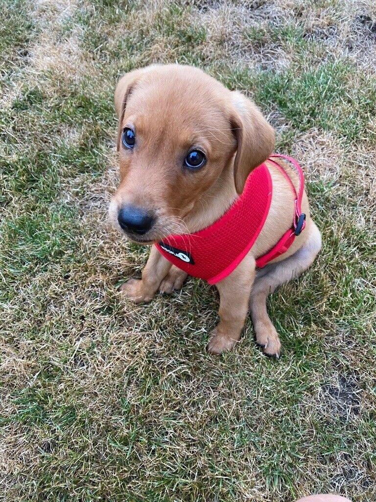Fox Red Labrador Puppy In Sittingbourne Kent Gumtree