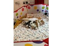 Longhaired kittens (Mum is ragdoll cross)