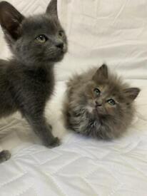 Half British shorthair / Longhair kittens