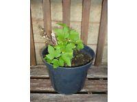 Superb Blackcurrant Bush - Bare rooted