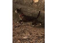 'Roxy '3 year old lurcher X staffy