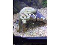 Super zebra carpet python £89 today