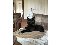 Lost Cat ( *BLACK CAT* (Black shorthaired Moggy) cat BERTIE (LE99JP) last seen in 09th Aug 2016!