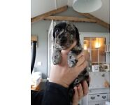 4 Beautiful 3/4 Dachshund Puppies for sale