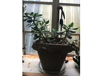 Jade plant / Money plant (2)
