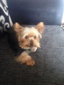 Miniature Pedigree Yorkshire Terrier girl