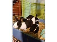 Baby Dutch rabbits