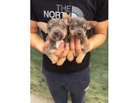 Chihuahua x jack Russell puppys