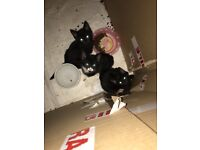 4 kittens ready now 2 black and 2 black and white £30 each