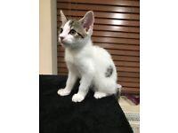 Beautiful male tabby kitten- REHOMED 22/03/18