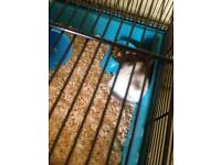 Beautiful Wee Hamster
