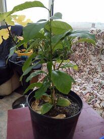 Lemon tree plant