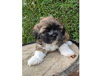 Adorable Lhasa Apso puppy