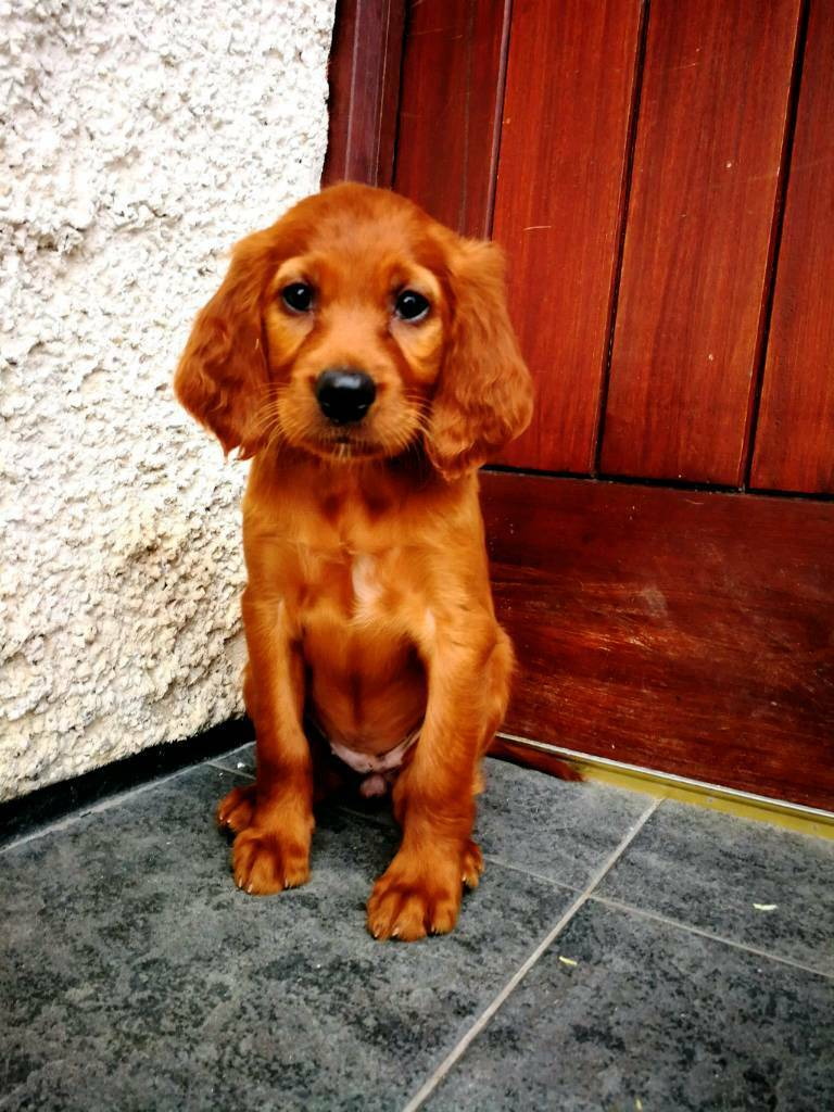 Gumtree Dogs Puppies
