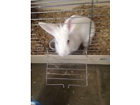 White playfully rabbit