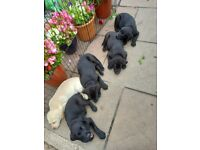 4 stunning male black lab pups.