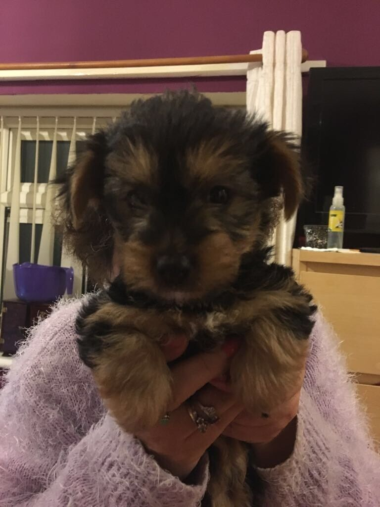 2 pedigree Yorkshire terrier puppies | in Walsall, West Midlands ... | Border Terrier Puppies For Sale Walsall