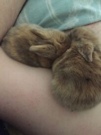 Two baby rabbits for sale lionhead x lop