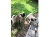 Beautiful Full Bred Pug Puppies looking 5* homes