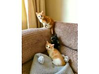 Beautiful kittens (male)