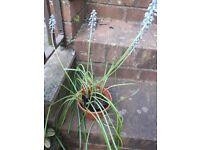 Grape hyachinth potted plant