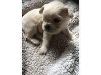 Caviler King Charles pug puppy