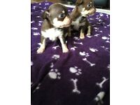 3 Beautiful male chocolate tri colour chihuahua puppies