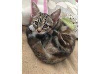 Adorable tabby kitten Female ready for a brand new home Streatham Hill SW2