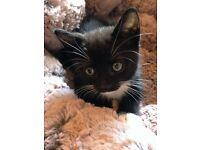 Beautiful Black & White Kitten looking for loving home, very lively , healthy & litter trained.