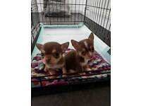 Short haired Chihuahua puppies