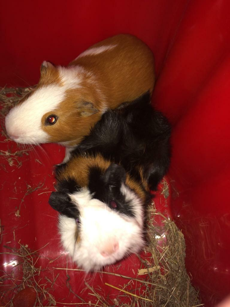 2 male guinea pigs and pink cage