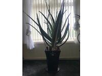 2x Large Aloe Vera plants for sale