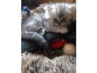 Male Chinchilla Persian Kittens