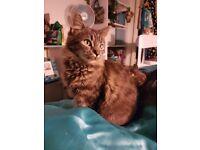 Two part Siberian beautiful small cats / kittens