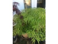 ACER planets (Japanese Maples), variety from £10
