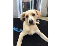 Male 9 month boxador gorgeous dog
