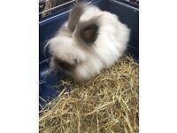 Lionhead Rabbit for sale