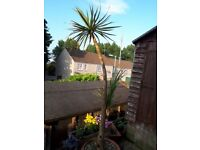 Cordyline Australis Verde Palm Tree Approx. 8 ft tall in large pot