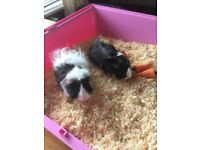 2 female guinea pigs and indoor cage