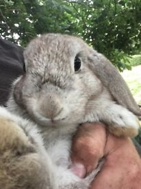 GREY 5 MONTH OLD RABBIT (with hut) FOR SALE
