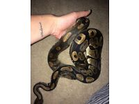 2 year old Royal Python for sale 🐍