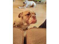 pedigree brittish bulldog boy